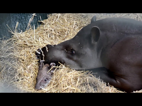 Endangered Tapir's First Words