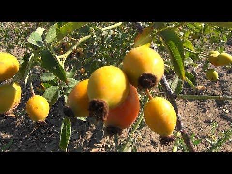 #Заготовка_семян_шиповника для выращивания подвоя.