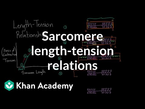 Sarcomere length-tension relationship