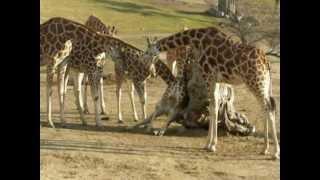 Rescuing A Stuck Giraffe