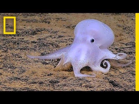 Ghostlike Octopus Found Lurking Deep Below the Sea | National Geographic