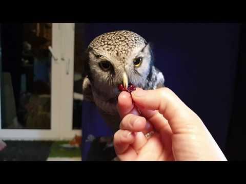 Валентинка для совы Ивы, ужин для филина Ёлки, привет от эублефара Гороха