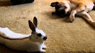 A Boxer Dog And His Bunnies!