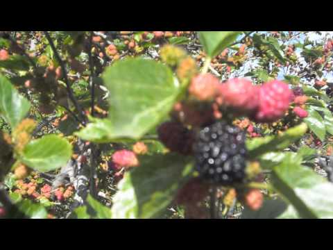 mulberries2013