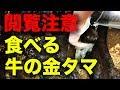 牛の金タマを食べる!