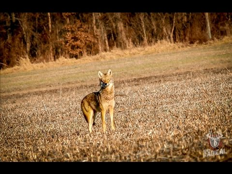 "Coyote Hunting ""Dirt Naps 3"""