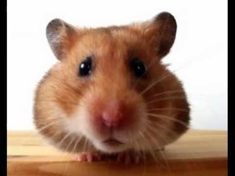 happy birthday hamster dance