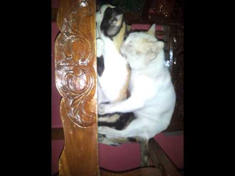 Cat Scandal Xd video