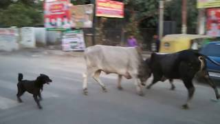 Crazy bull fight and a doggy trying to solve