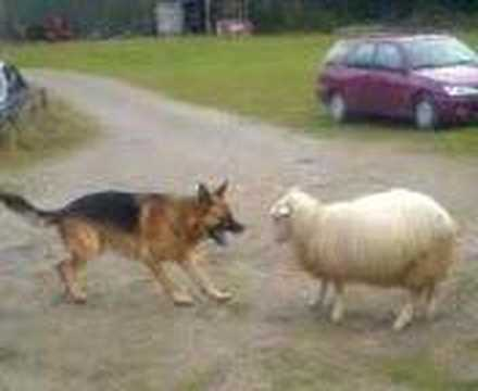 Dog VS Sheep