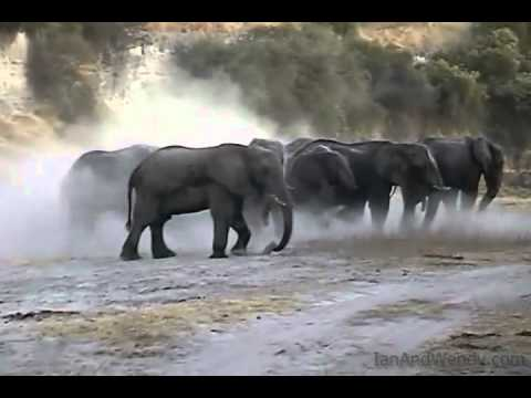 Elephant mud bath in Khumaga.(Botswana)
