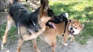 柴柴发起飙来 竟然连德牧都敢呛!!|Shiba Inu Plays With A GSD Dog