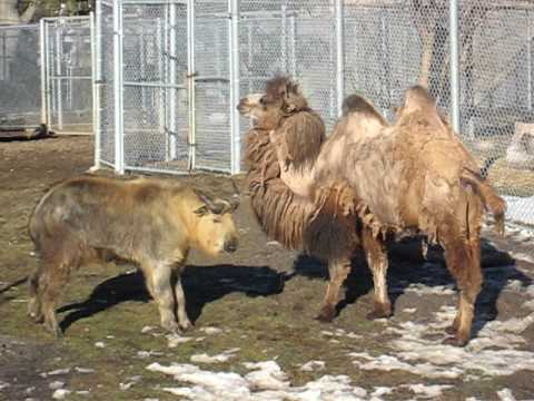 Sichuan Takin playing with Camel at the Detroit Zoo Video