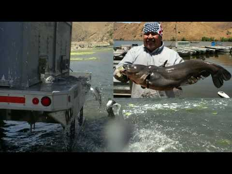 Giant Tilapia &amp   Silver  Channel Catfish Stocking   7 6 10