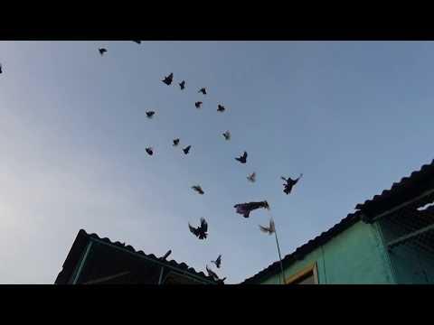 голуби 18.10.17г Югозапод.