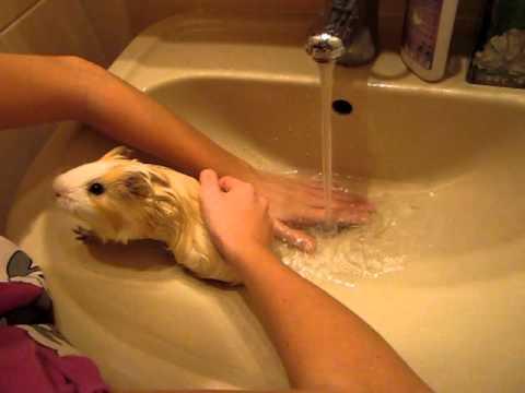 Как мыть морскую свинку?