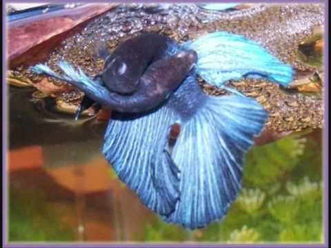 Long Betta Fish Live on How Long Can A Betta Fish Live In A Bag