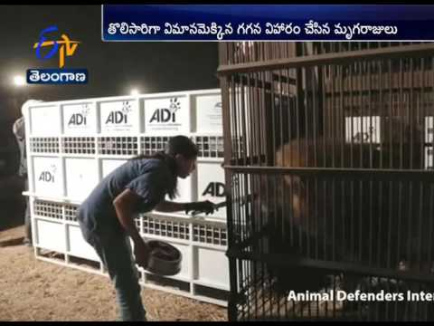 33 Circus Lions Rescued from Illegal Trafficking in South Africa