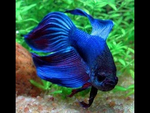 Introducing my male and female betta fish together for Betta fish together