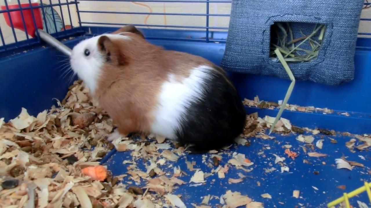 Чем не кормить морских свинок в домашних условиях 823
