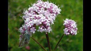 Plantas medicinales para dejar de roncar - hierbas para dejar de roncar