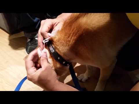 Como quitarle una garrapata a tu perro