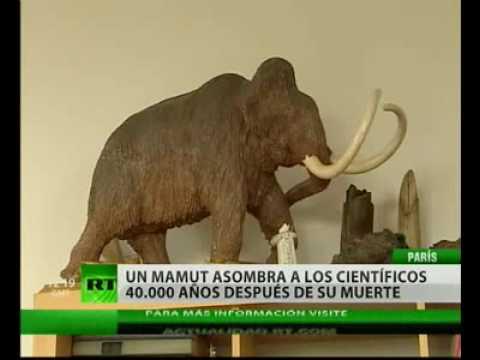 Un cachorro de mamut podría renacer gracias a la clonación