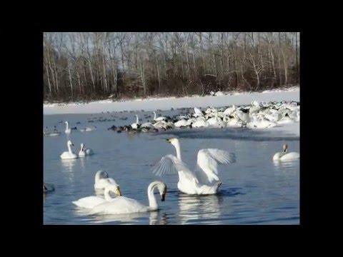белая лебедь подруга весны ненашева