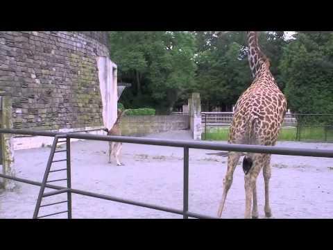 マサイキリンの赤ちゃん走る〜Giraffe's Baby is running