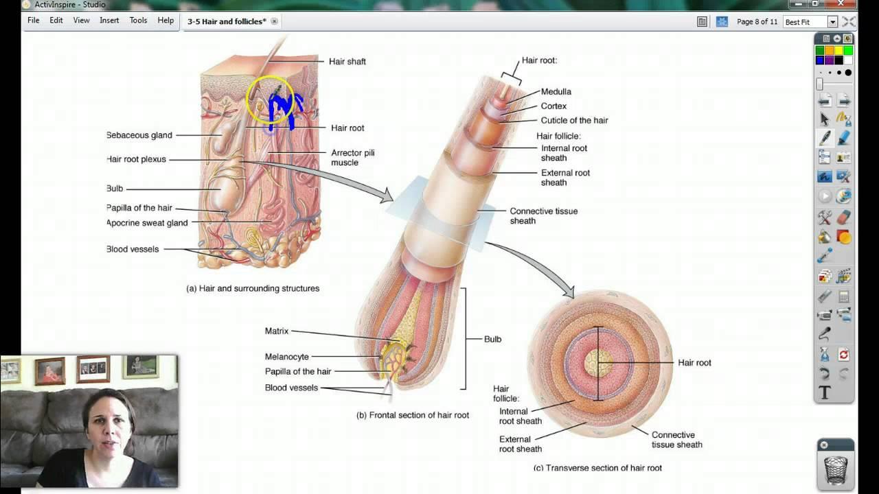Hair follicle anatomy