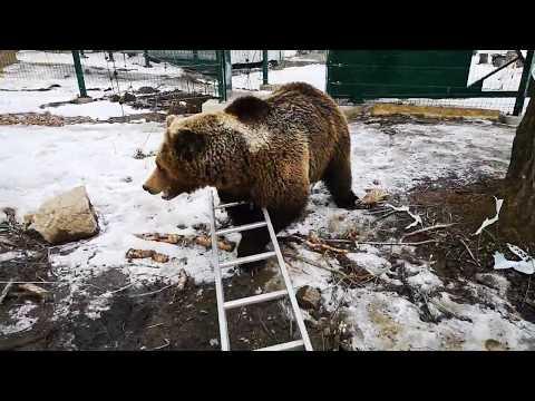 Медведь Мансур и лестница