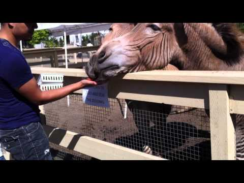 Man Feeding Zebroid (or Zedonk)