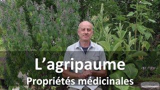 Agripaume : plante médicinale oubliée