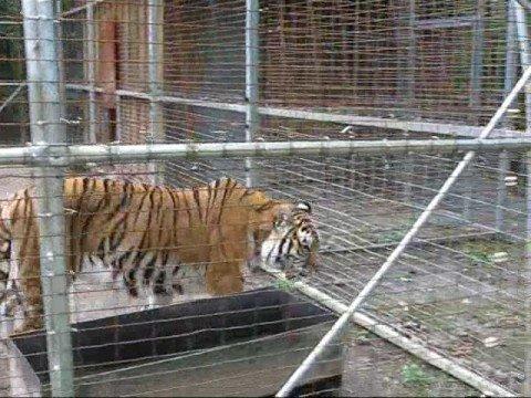 Ussuri Brown Bear Vs Grizzly Siberian Amur Tiger Vs...
