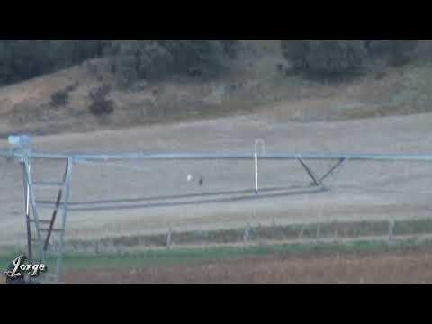 05.- Galgos vs Liebres V --- Greyhounds vs Hares V (Los animales se comen la cámara)