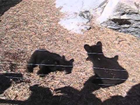 Cute Bear Cubs Playing in Pen at Yellowstone Bear World