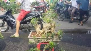 SH.5.Chợ hoa cây cảnh thị xã Sơn tây sáng chủ nhật 7/5/2017.