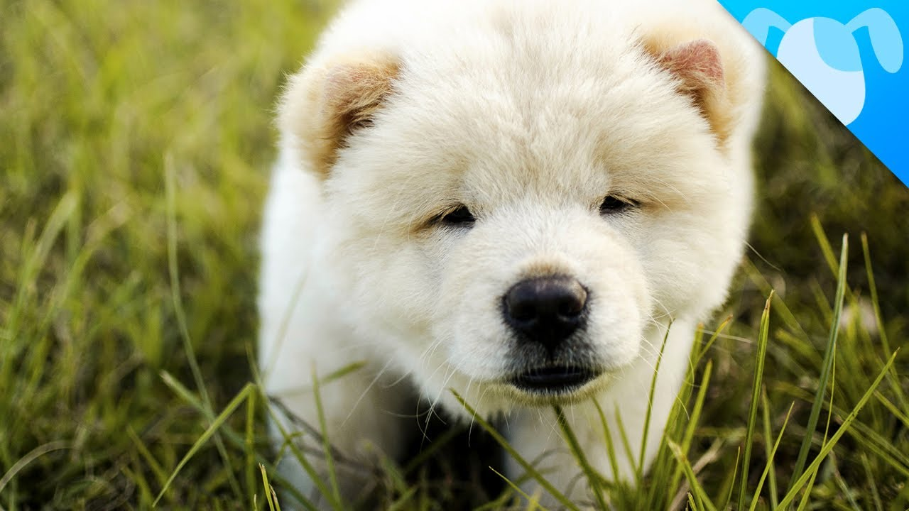 What Are Chow Chow Dogs Like