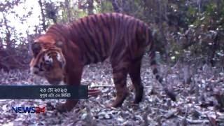 Tigers is Increasing (সুন্দরবনের রয়েল বেঙ্গল টাইগার বাড়ছে) Special Report on News24