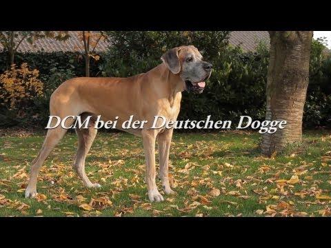 DCM bei der Deutschen Dogge