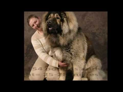 Top 10 Best and Biggest Guard Dogs in the World 2013