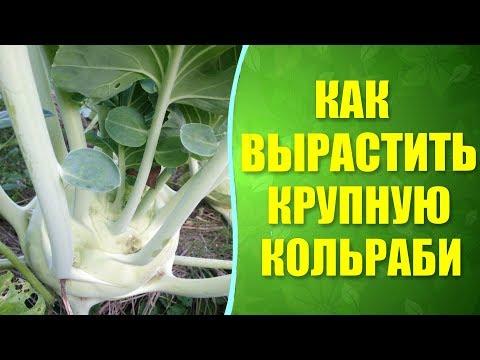 """🌱Как вырастить крупную кольраби? Урожай кольраби """"Гигант"""" с природным земледелием."""