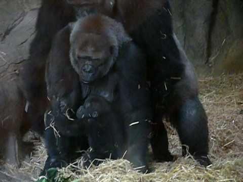 上野動物園のゴリラ一家(ハオコ、モモコ、コモモ)