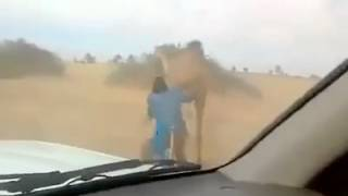 How they caught this Camel in the desert Do you know what happened to them?