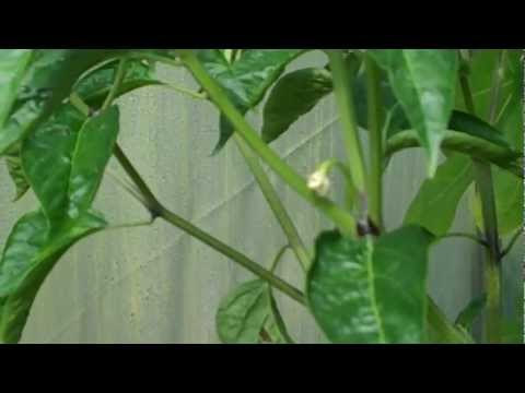 how to grow chili peppers from cuttings