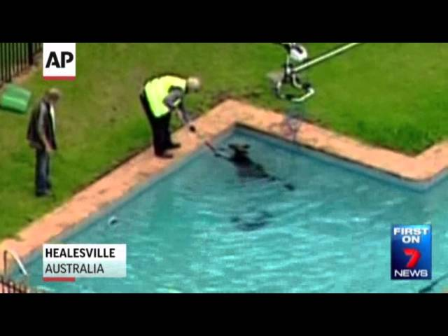Raw: Kangaroo Rescued From Swimming Pool
