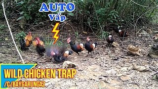 Lucky day, wild chicken trap it's too easy