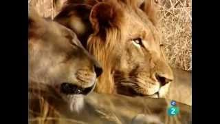 Documentales Increibles |  El león y El Leopardo Una Singular Amistad