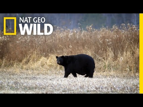 A Bear Encounter | United States of Animals