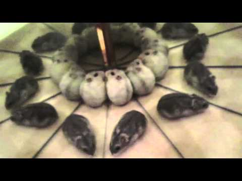 Cute Hamsters Playing with Reflection - Hilarious Video!